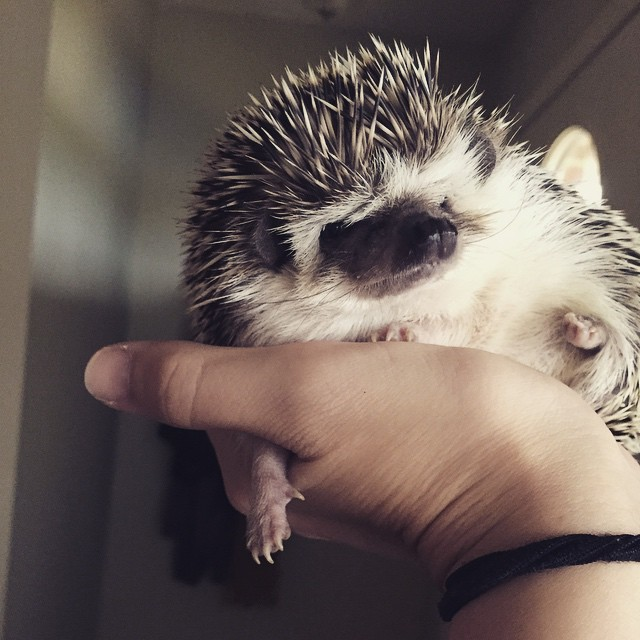 Your Hedgehog Questions Answered